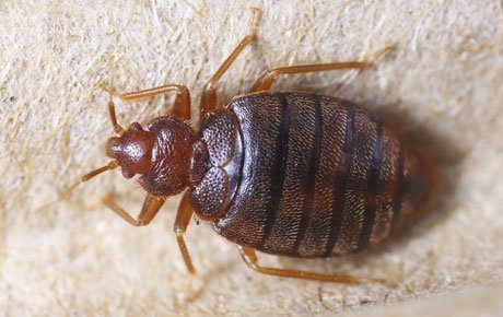 Bed Bugs South West